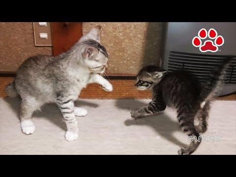 積極的な仔猫 Aggressive kitten