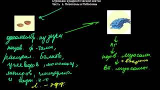 15  Строение эукариотической клетки  Часть5  лизосомы и рибосомы