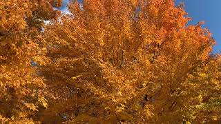 Stunning Golden Maple Tree Leaves in Northern Indiana