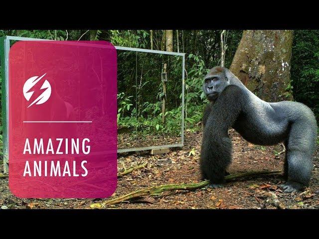 KOMIČNO : Pogledajte reakcije životinja u prašumi na svoj odraz u ogledalu