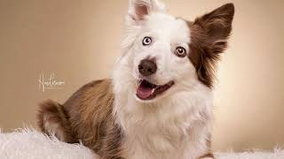 Why Border collie is the Most Intelligent Dog Breed?