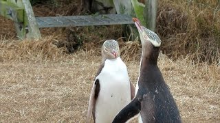 Antisocial screaming penguin crowned New Zealand's Bird of the Year