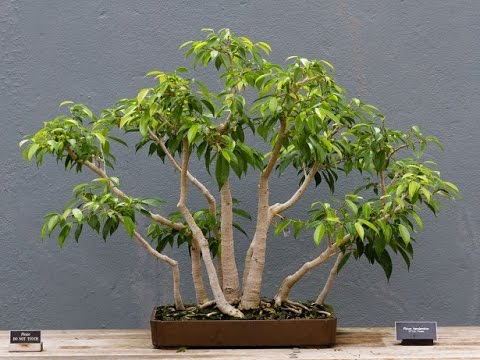 ficus benjamina tropical bonsai ii youtube. Black Bedroom Furniture Sets. Home Design Ideas