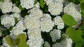 Spiraea betulifolia 'Tor' video