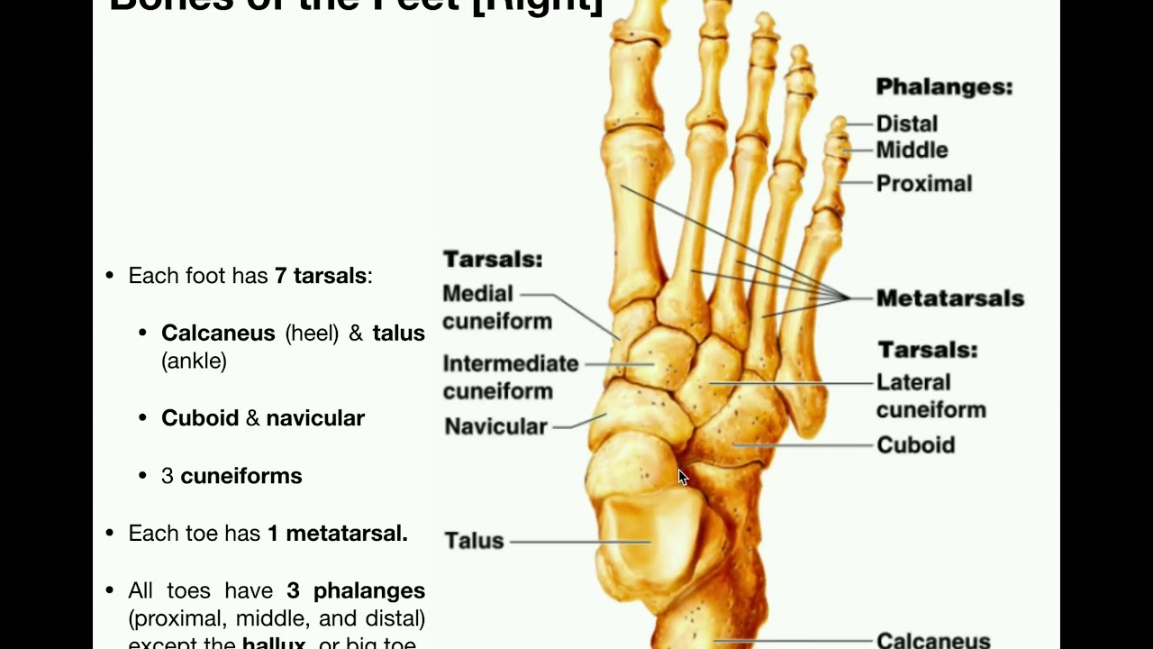 anatomy | specific bones of the feet - youtube  youtube