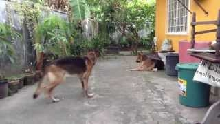 German Shepherd With Arthritis Still Wants To Chase Birds In Dumaguete City