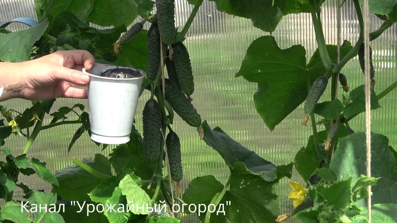 Внекорневая подкормка огурцов во время плодоношения