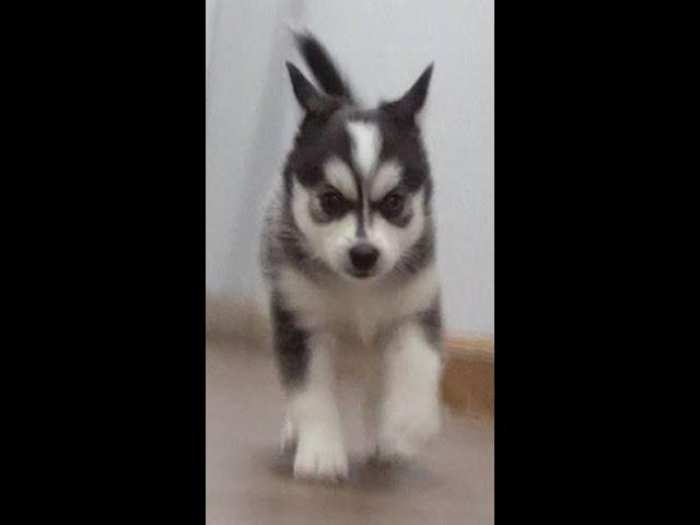 Sugar the Pomsky Puppy