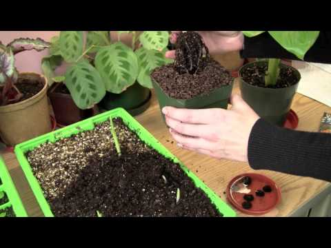 Growing Banana Plants From Seed