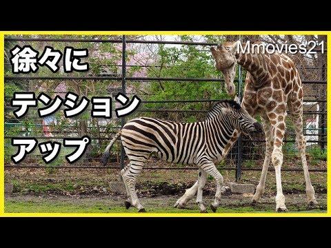 仲良く遊ぶキリンとシマウマ Giraffe and Zebra are playing together