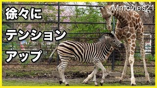 Somali Giraffe,Maple,male,3 years old,and Chapman's Zebra,Rio,male,...
