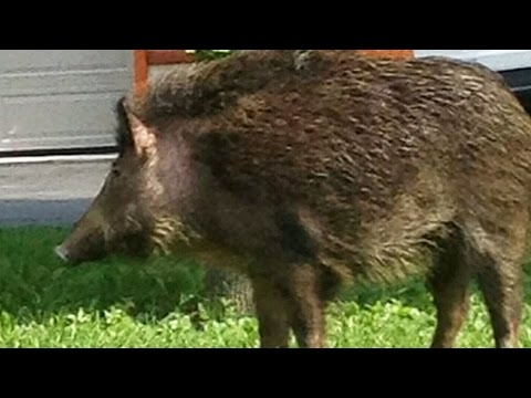 Wild Boars Spotted Roaming Free In Ontario Neighbourhood