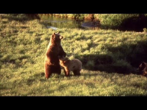 Yellowstone's Bears