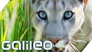 Der Puma - Ein ideales Haustier? | Galileo | ProSieben