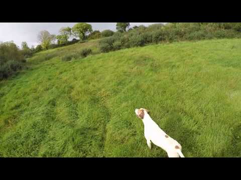 Pointer Pup Pre Season Training Ireland 2016