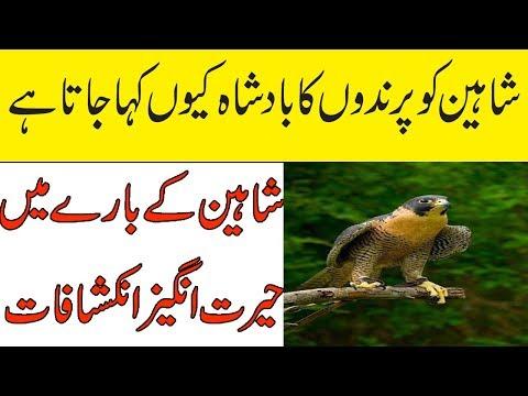 Facts About Bird | Shaheen Bird | Rare Bird | Information About Bird | Bird Facts