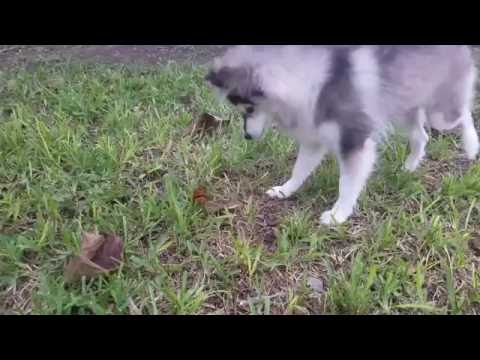 Royal The Pomsky meets his first butterfly