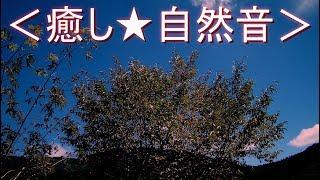 <癒し★自然音> ヒグラシが鳴く夏の夕暮れ時(ミンミンゼミ・ツクツクボウシの鳴き声)(安らぎ・リラックス・リフレッシュ・ストレス解消)