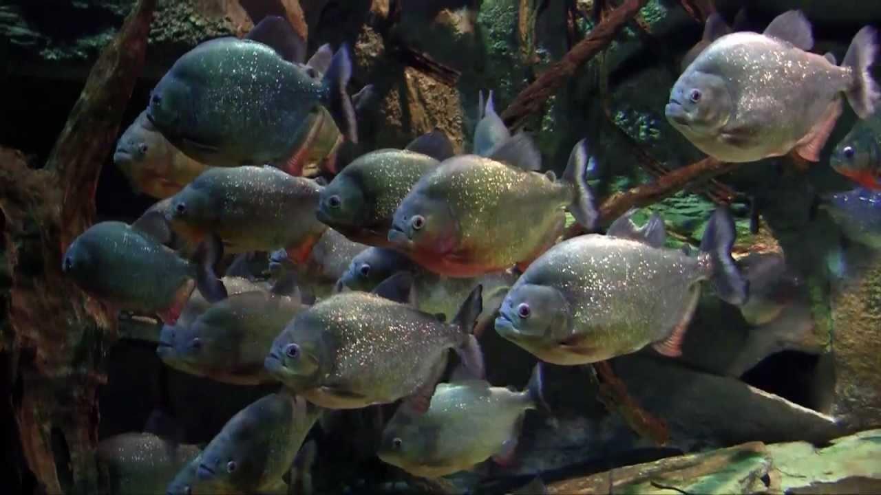 Acuario parque explora medellin peces de agua dulce youtube for Peces agua dulce calida para acuario