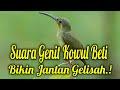 Suara Kolibri Wulung Betina Sangat Baik Untuk Kowul Jantan  Mp3 - Mp4 Download