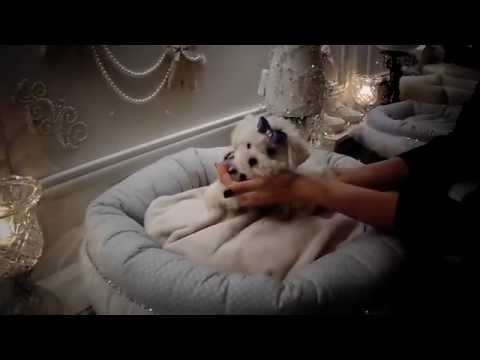 Teacup Puppies Store at Tiny Maltese Puppy For Sale - www.TeacupPuppiesStore.com 2016 WE SHIP