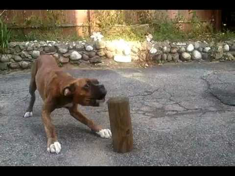 barking boxer puppy