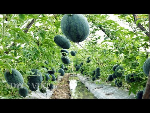 WOW! Amazing New Agriculture Technology - Watermelon