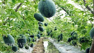 WOW! Amazing New Agriculture Technology Watermelon