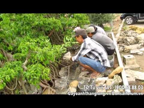Kỹ thuật ghép cây lên đá | Cây cảnh thăng long