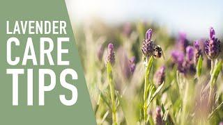 Quick Tip : Lavender Care 💜|| West Coast Gardens