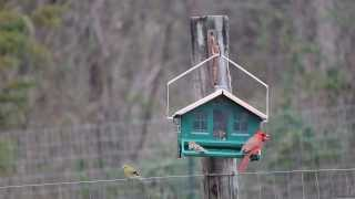 Bird Feeder With Gold Finches And Cardinals
