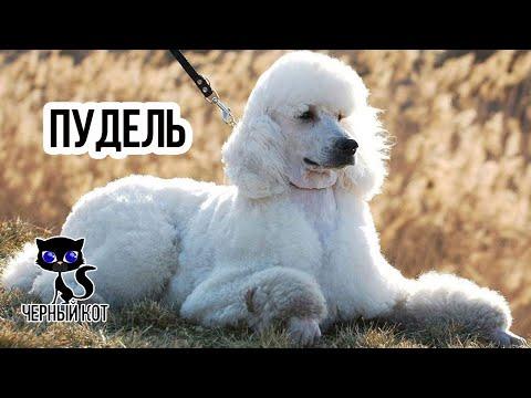Пудель / Интересные факты о собаках