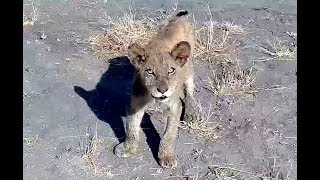 Two lion cubs at Nkorho Bush Lodge. 16 August 2019