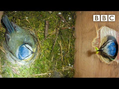 Live Springwatch: Day 7 🌦 2021 🐣 BBC