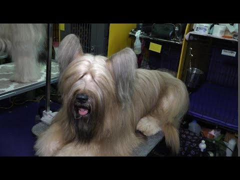 'Otter'  A  Briard at Westminster Kennel Club Dog Show