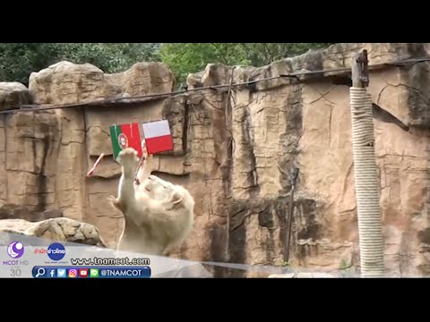 """""""เจ้าปีใหม่"""" ชี้ชะตาผลโปรตุเกส Vs โปแลนด์ สิงโตขาวที่สวนสัตว์ขอนแก่น"""