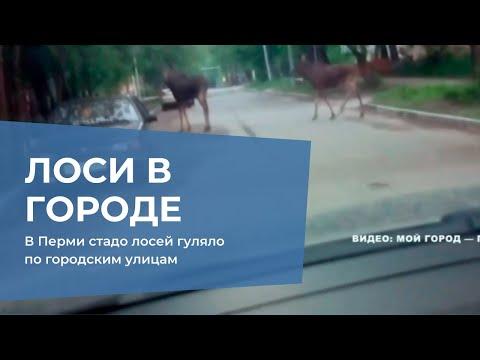 В Перми стадо лосей гуляло по городским улицам