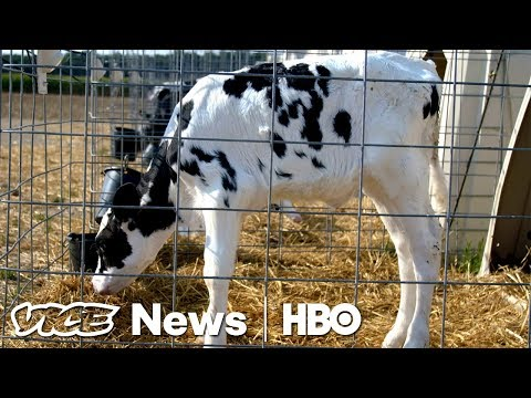 These Supercows Are Genetically Bred To Fetch Six Figures At Auction (HBO)