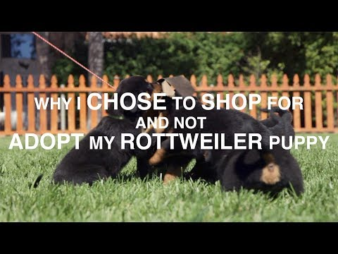 5 REASON WHY I SHOPPED AND DIDN'T ADOPT, MY ROTTWEILER