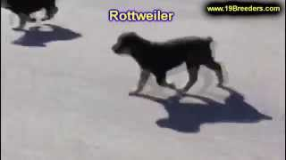 Rottweiler, Puppies For Sale, In, Nashville, Tennessee, Tn, County, 19breeders, Knoxville, Smith