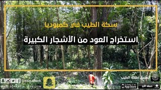 استخراج العود من الأشجار الكبيرة | رحلة سكة الطيب إلى كمبوديا