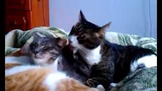 Прикольные Кошки лизалки