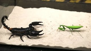 BRUTAL FIGHT OF THE MANTIS AND SCORPION - VERSUS OF THE MANTIS - THE AGAMA ATE THE LOCUST!