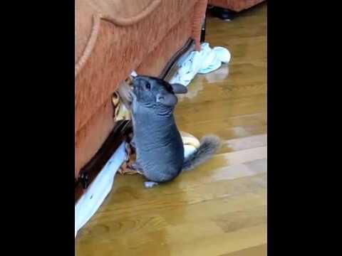 Порода кошек шиншилла - lol-