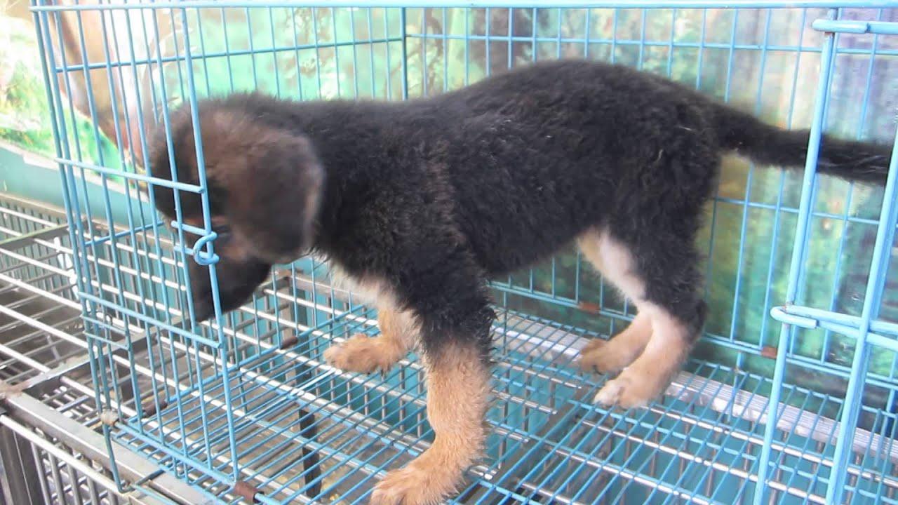 bán chó becgie đức giá chỉ 2,5tr liên hệ 0986006465