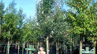 Sap Trees Sorbus aria Majestica 16-18cm girth