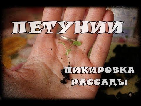 видео: Пикировка рассады петунии
