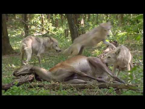 Les Emotions animales - Documentaire animalier