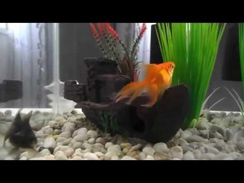 Black Moor & Fantail Goldfish