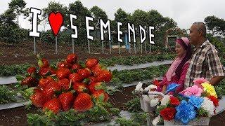 PANEN STRAWBERRY MERAH BESAR MANIS DI SEMENDE ( harvest big red strawberry )
